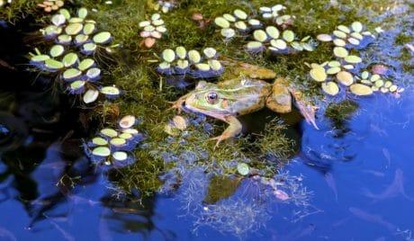 voda, prirode, vodena, biljka, životinja, žaba