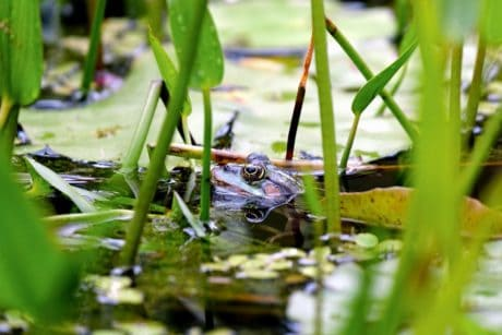 frog, water, swamp, nature, leaf, flora, environment, amphibian