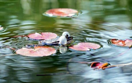 water, lake, pond, frog, animal, amphibian