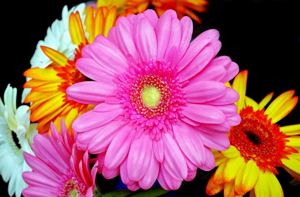 pétala, verão, flores, natureza, flora, jardim