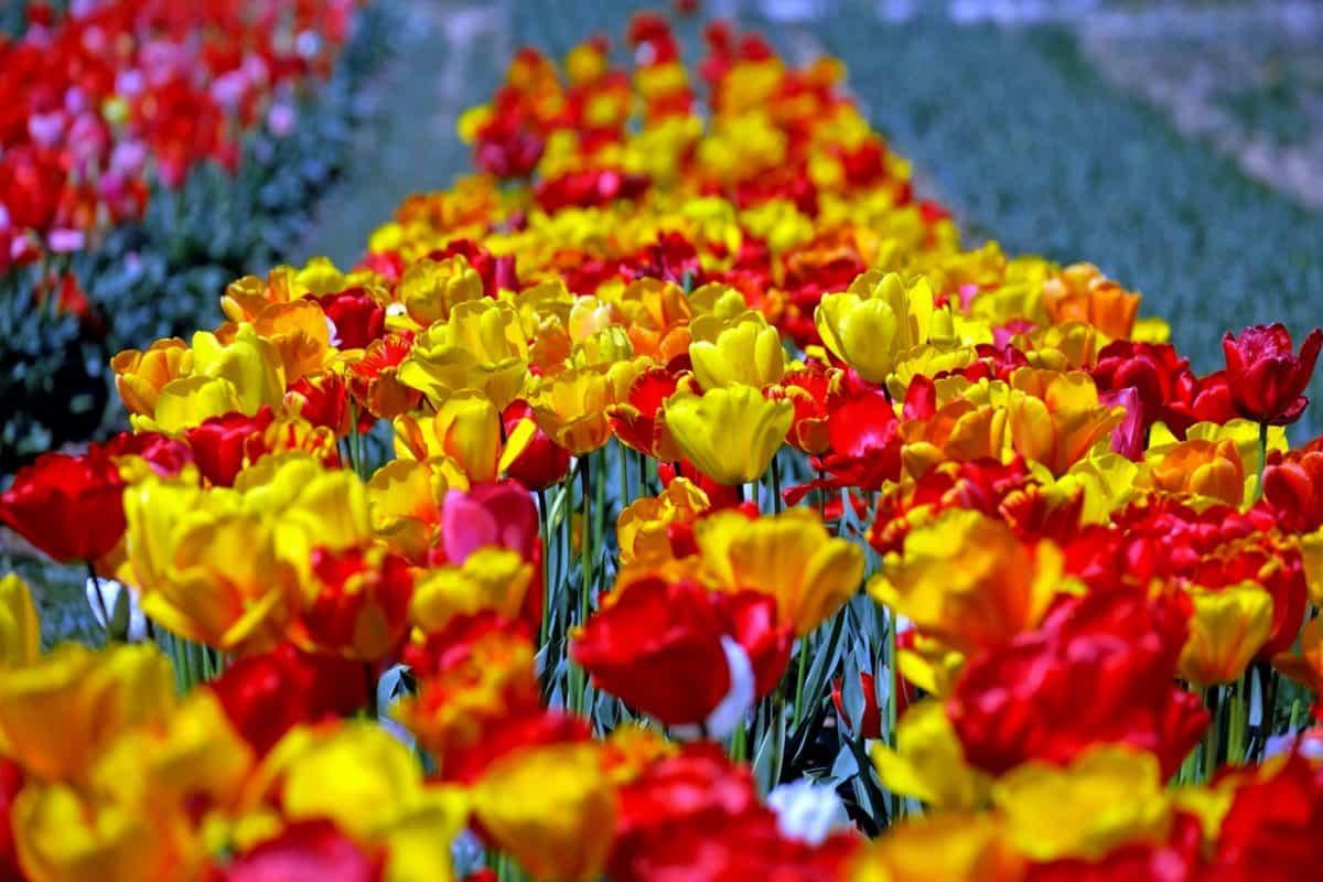 Blatt, Garten, Natur, Blume, Flora, Pflanze, Tulpe