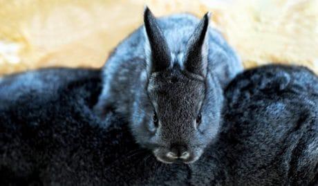 carine, coniglio, animale, testa, pelliccia, zoologia, nero