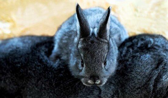 tête de lapin, animal, mignon, fourrure, zoologie, noir