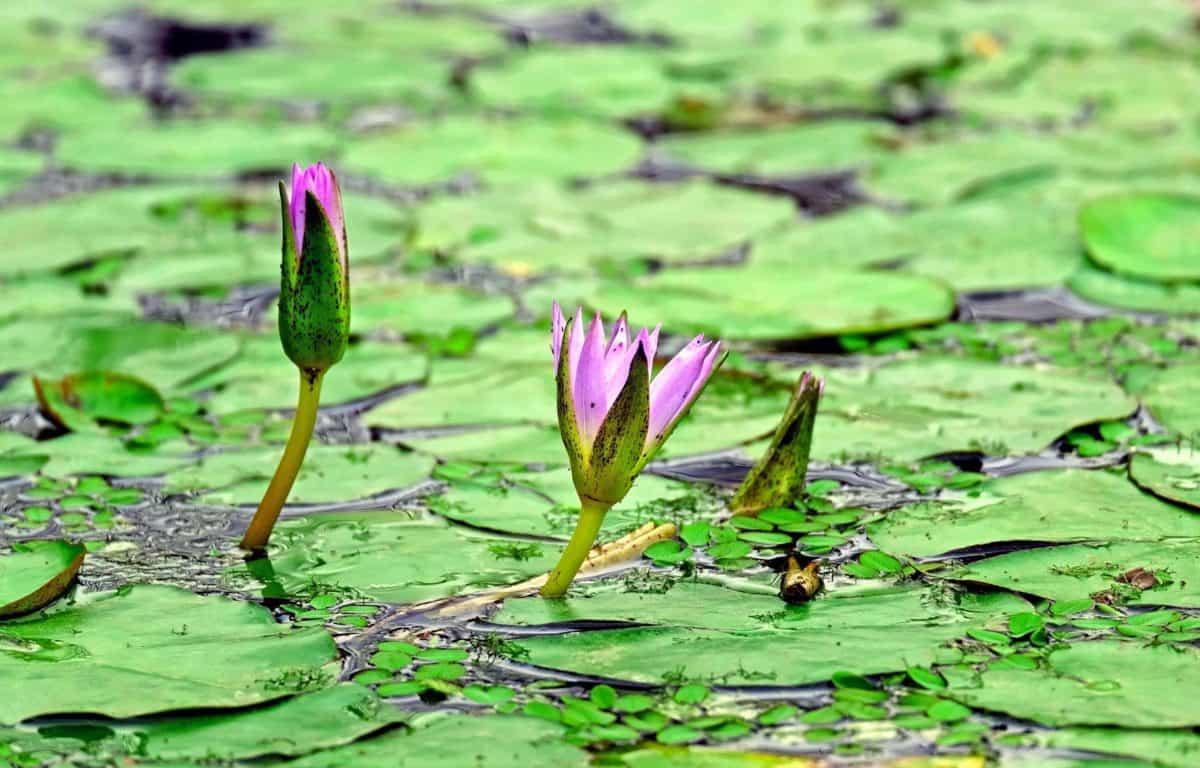 daun, perairan, flora, air, lotus, ekologi, bunga, Danau, alam