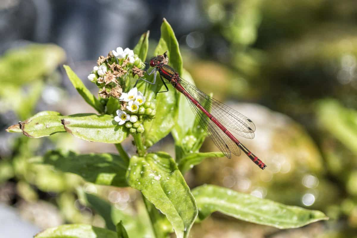 dragonfly, macro, nature, wildflower, leaf, insect, plant