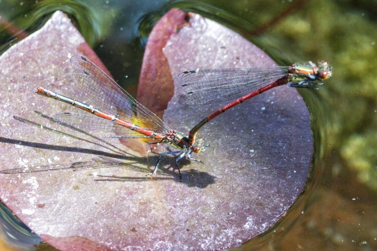 insect, invertebrate, dragonfly, lotus, macro, arthropod