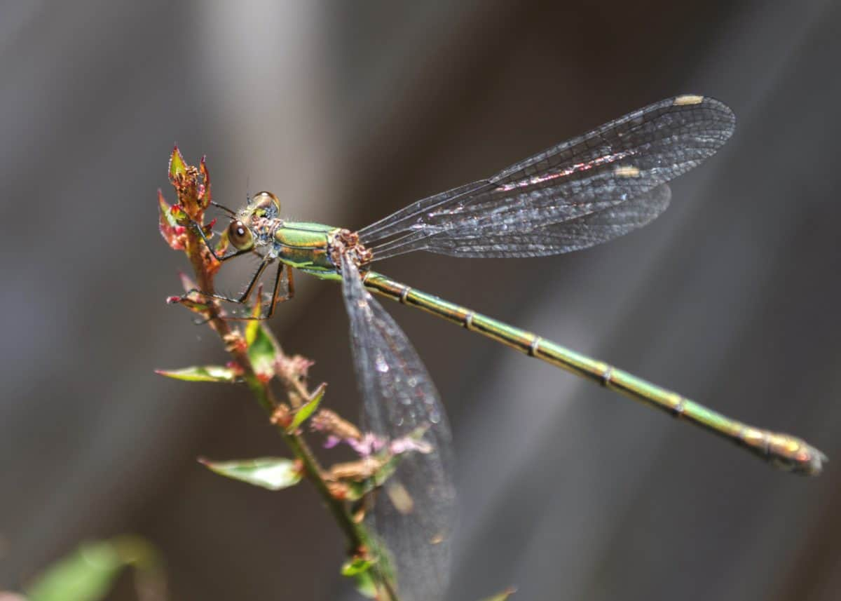 invertebrate, nature, insect, macro, wildlife, dragonfly, arthropod
