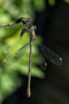 leaf, dragonfly, invertebrate, wildlife, insect, nature, arthropod