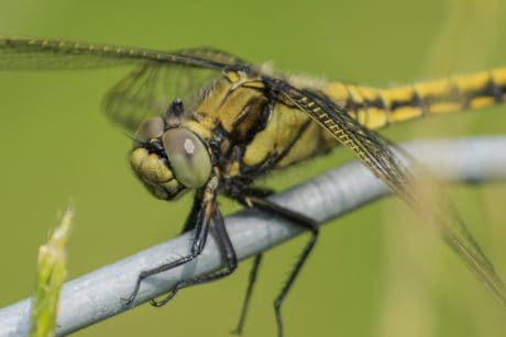 macro, dragonfly, nature, wildlife, animal, insect, wing, invertebrate