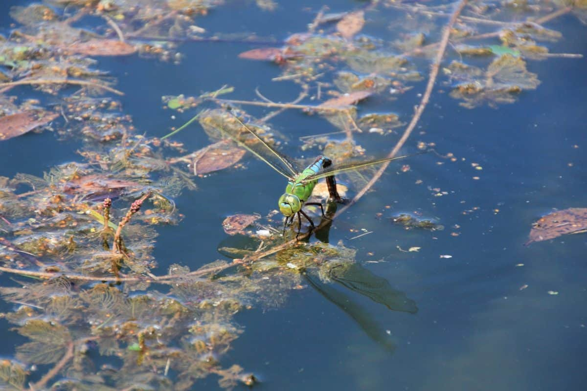 reflection, swamp, water, dragonfly, animal, insect