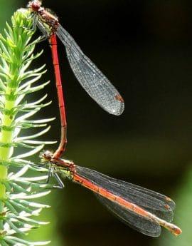 insect, wildlife, macro, nature, dragonfly, invertebrate, arthropod