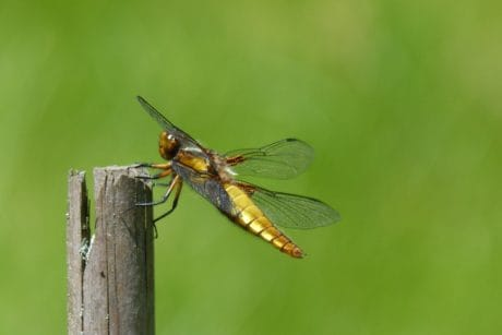 invertebrate, insect, dragonfly, nature, wildlife, macro, arthropod