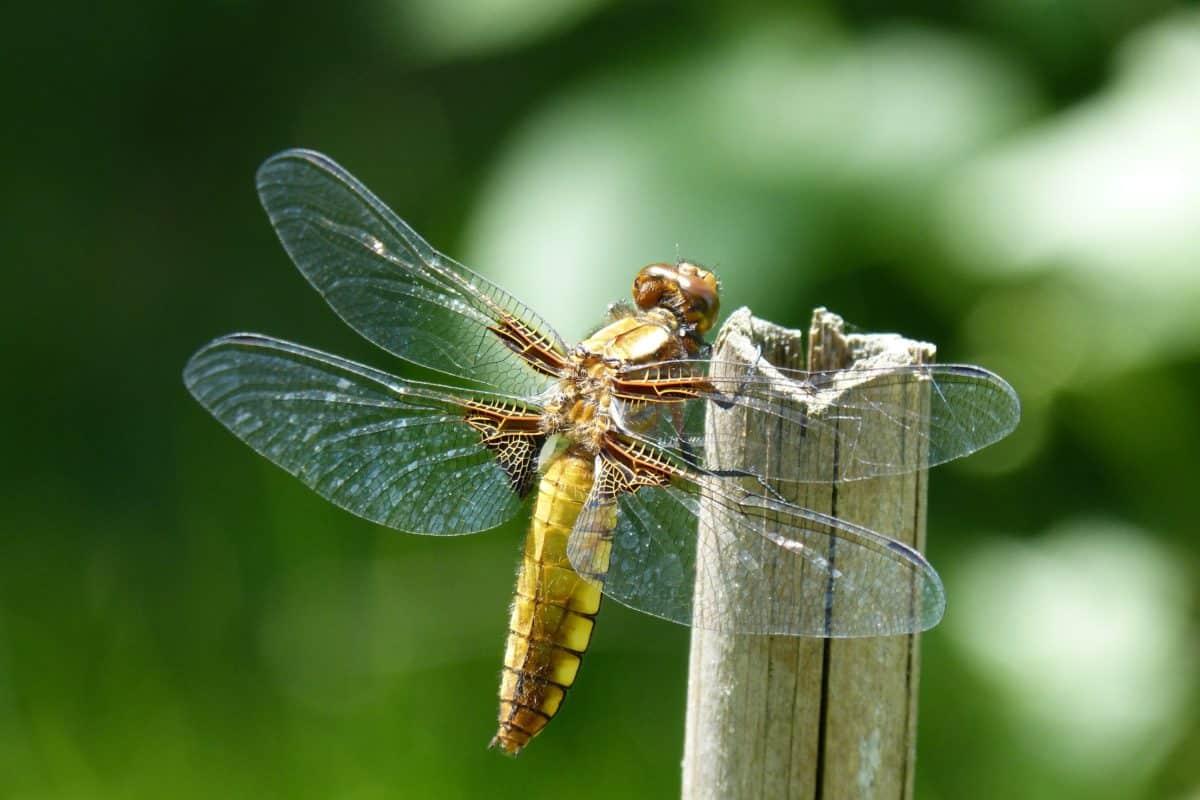 libellule, animaux, macro, nature, insecte, faune, arthropode, invertébré