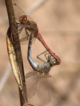 wildlife, macro, invertebrate, nature, insect, animal, dragonfly