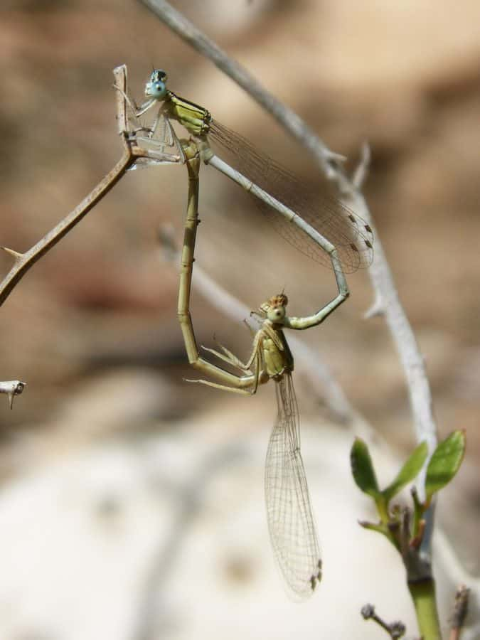 insect, invertebrate, animal, wildlife, dragonfly, nature