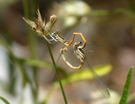 insekt, dragonfly, natur, makro, hvirvelløse, grøn græs, dyreliv, leddyr