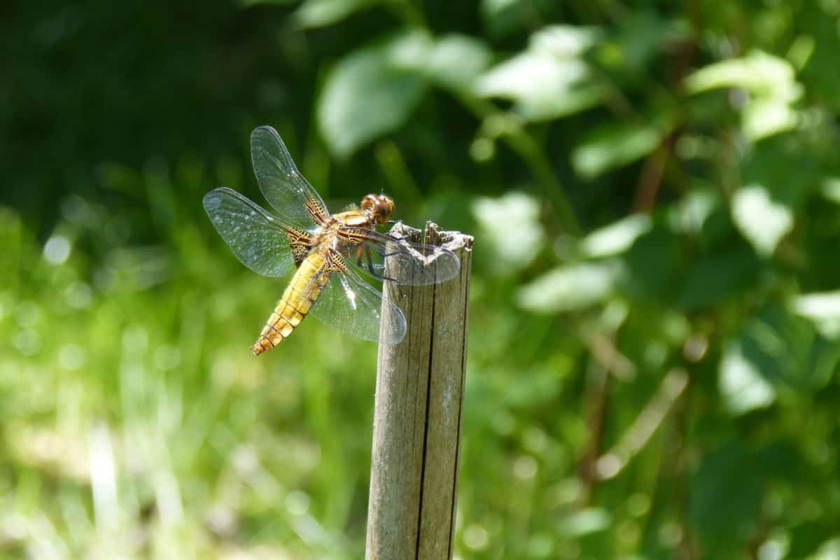 garden, insect, nature, leaf, summer, dragonfly, arthropod