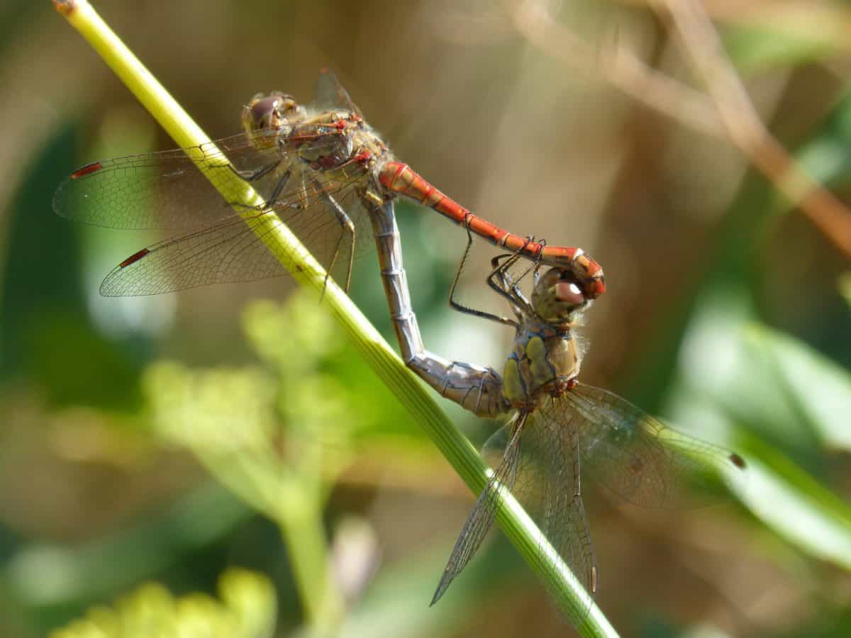 nature, invertebrate, macro, wildlife, insect, dragonfly, animal