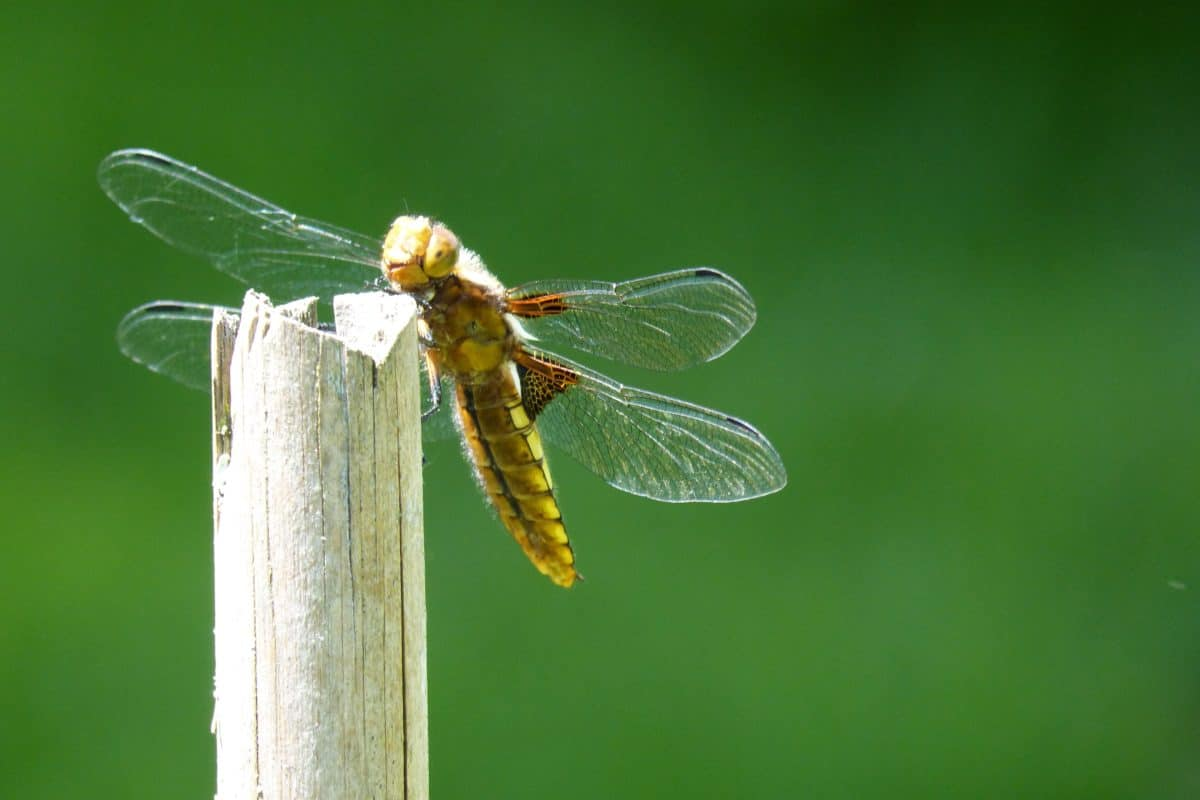 dragonfly, animal, nature, wildlife, insect, arthropod, invertebrate