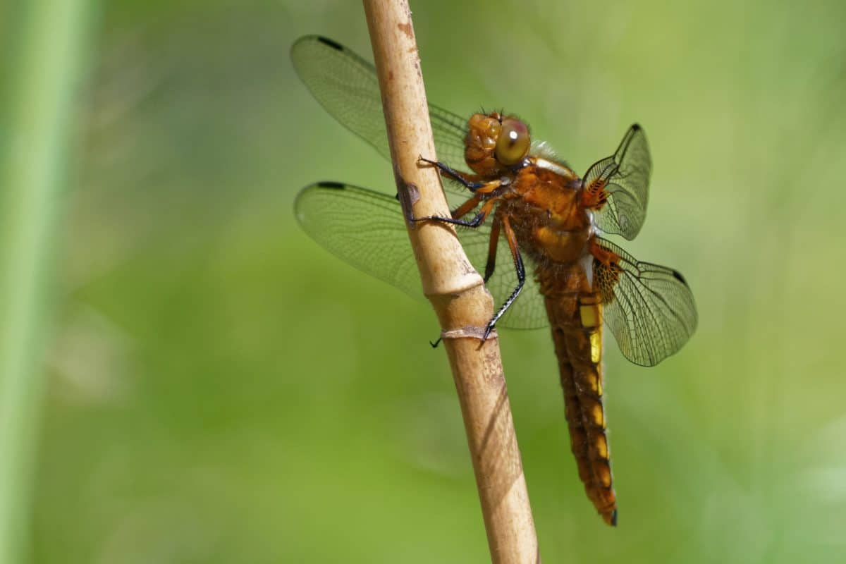 dragonfly, nature, invertebrate, wildlife, insect, animal
