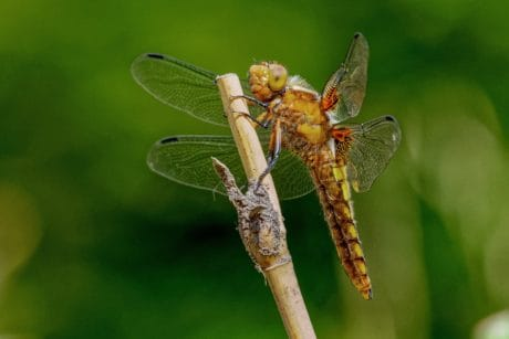 dragonfly, invertebrate, nature, butterfly, wildlife, insect, animal