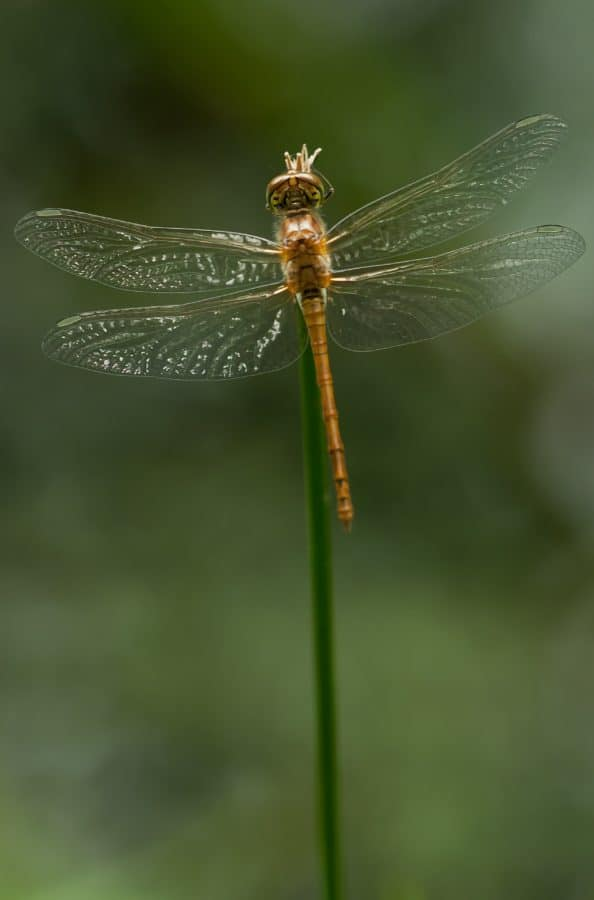 insect, nature, dragonfly, arthropod, invertebrate, animal