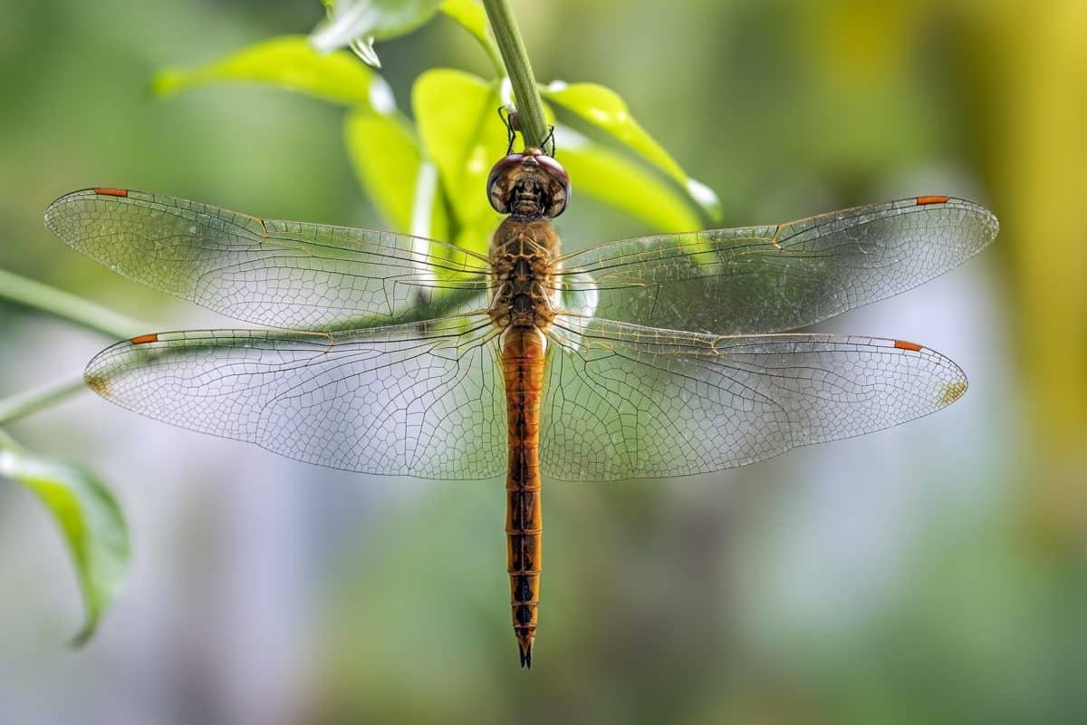 dragonfly, insect, animal, nature, wildlife, arthropod, invertebrate
