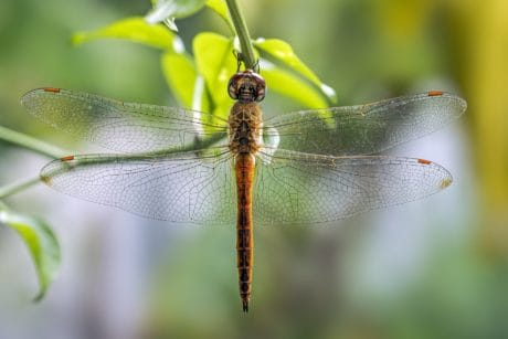 dragonfly, insect, animal, nature, wildlife, arthropod, invertebrate
