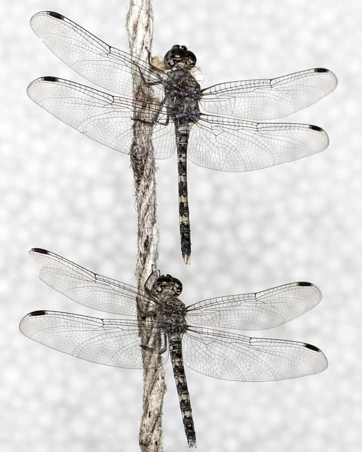 translate, wildlife, insect, dragonfly, nature, macro, animal
