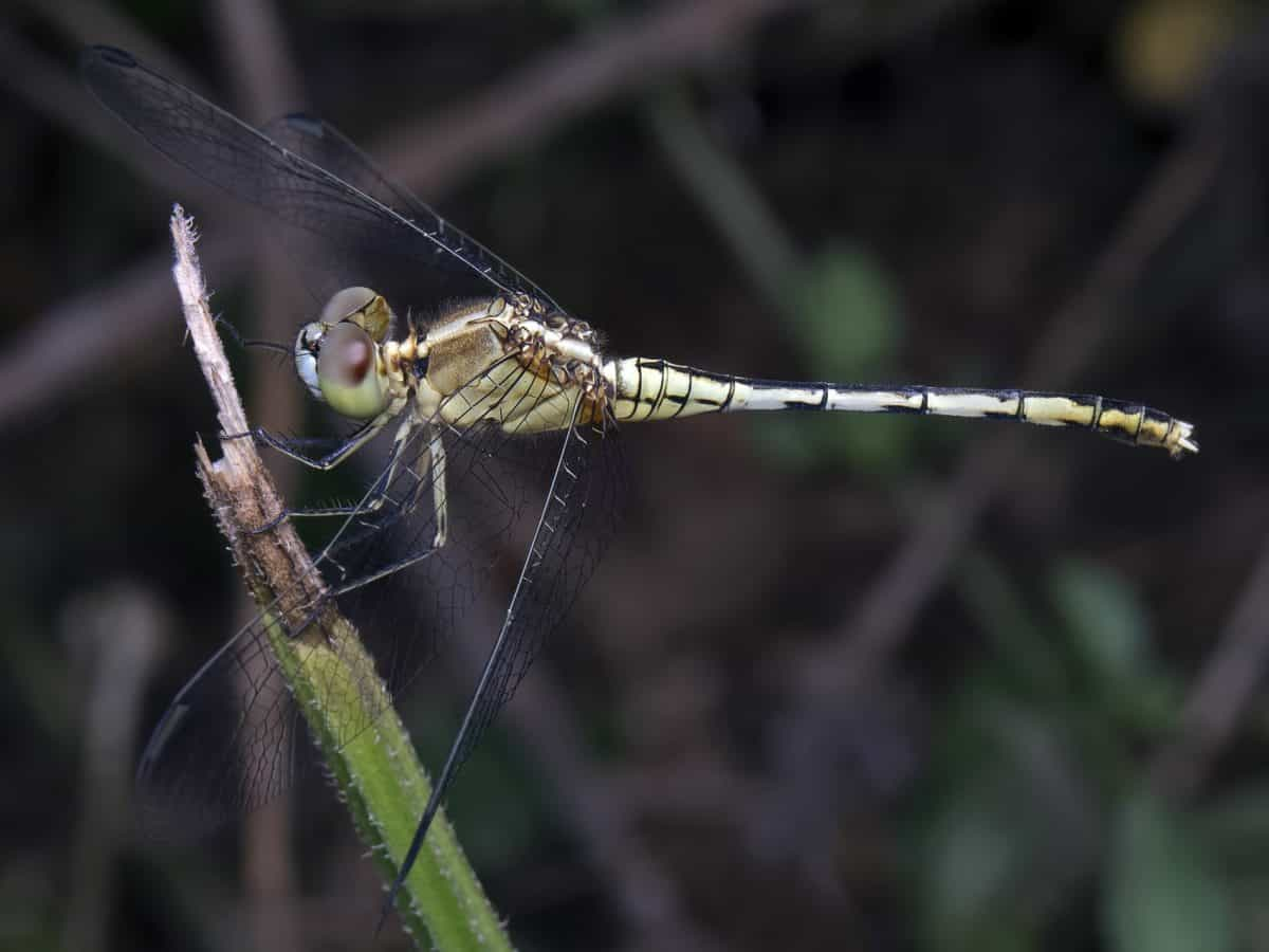 nature, macro, animal, insect, invertebrate, dragonfly, wildlife
