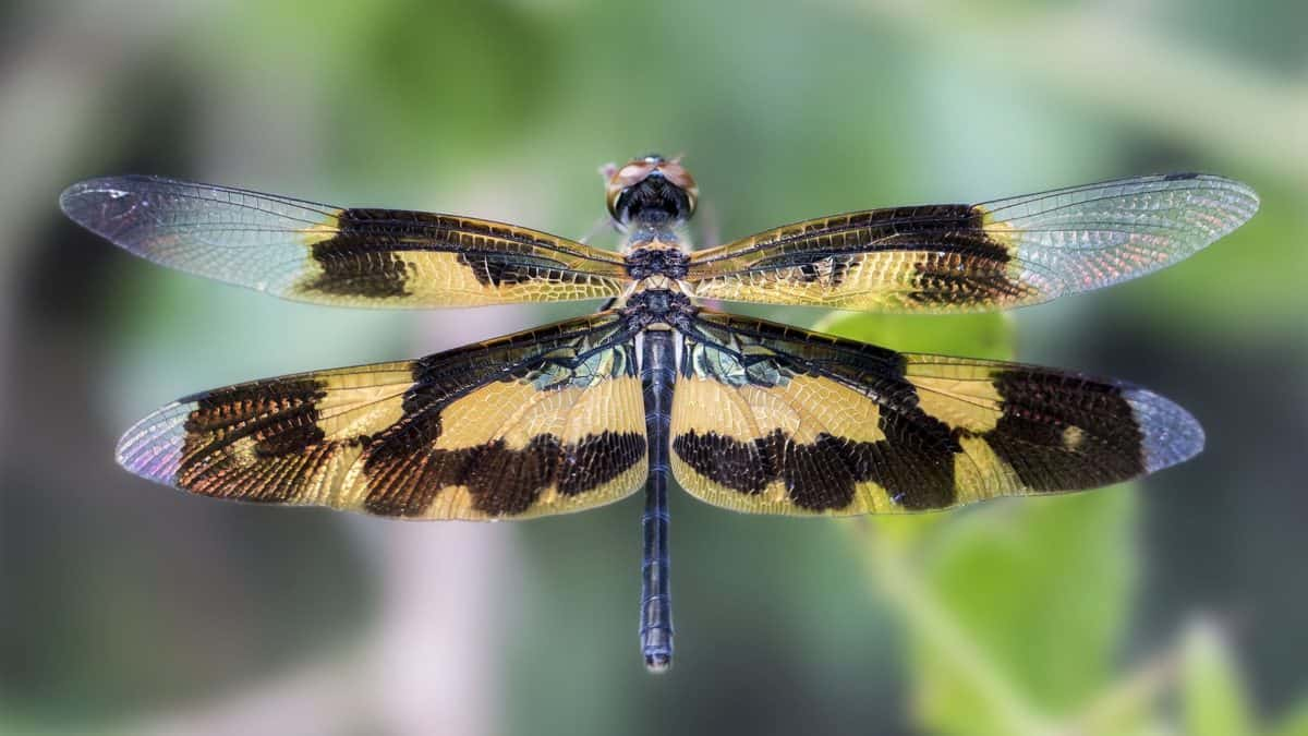 dragonfly, macro, wing, invertebrate, wildlife, nature, insect, animal