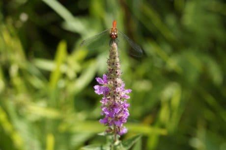 foglia, flora, drafonfly, insetto, wildflower, estate, wild, giardino, natura