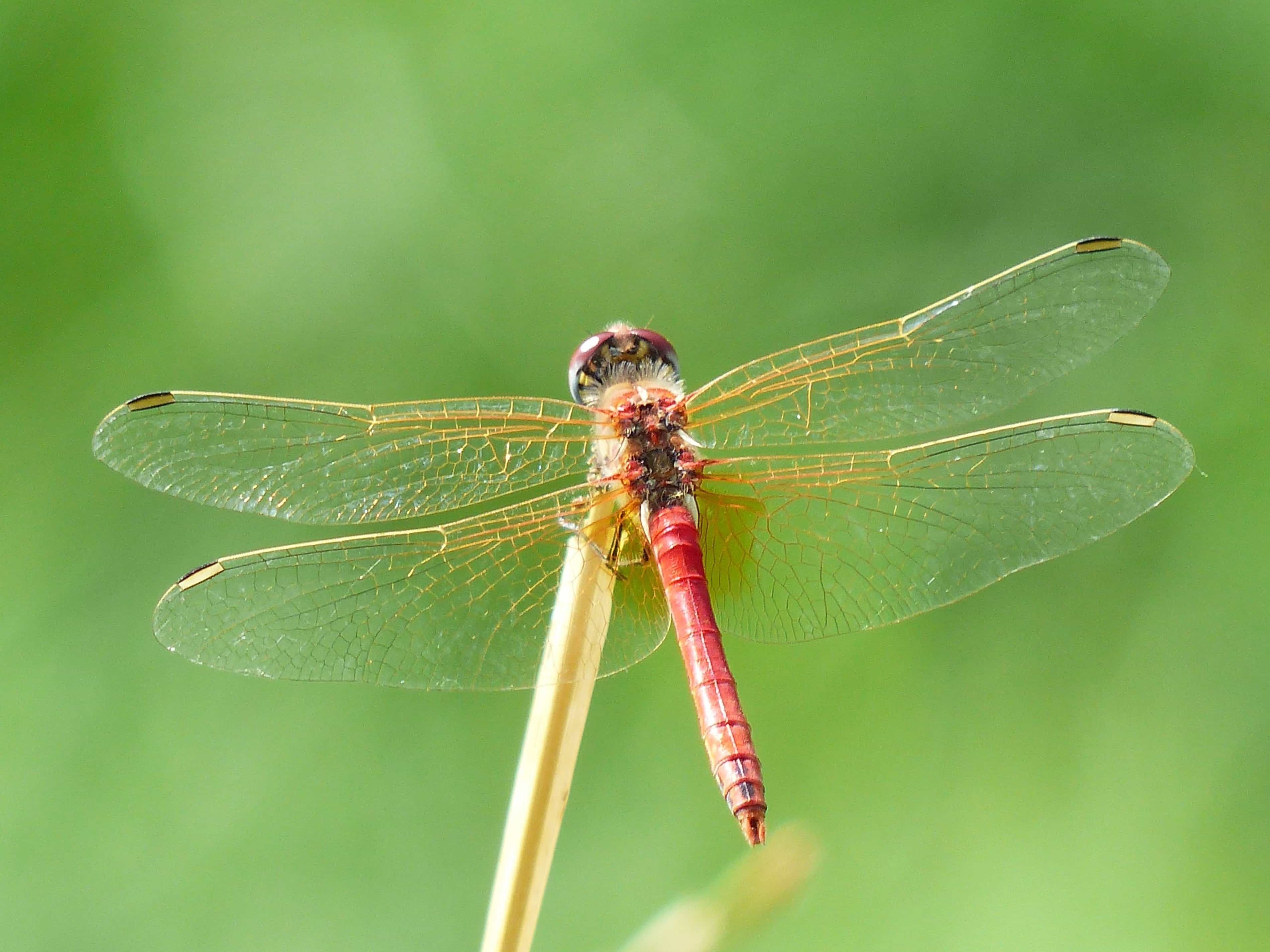 free picture animal insect dragonfly nature arthropod invertebrate