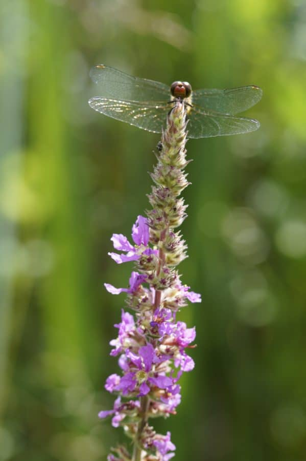 wildflower, dragonfly, flora, nature, summer, herb, plant, garden, bloom