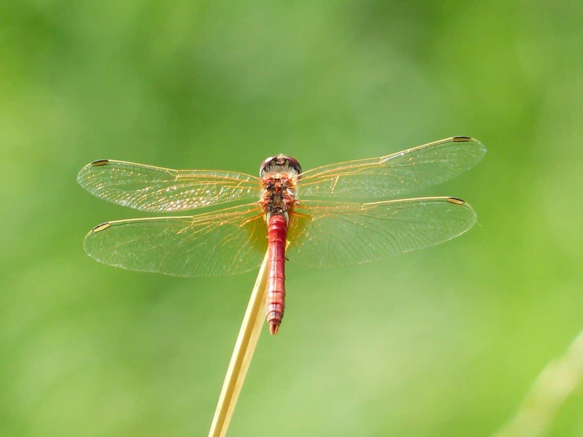 dragonfly, wildlife, insect, summer, animal, nature, arthropod
