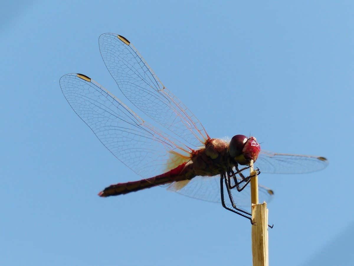 dragonfly, insect, arthropod, invertebrate, sky, outdoor