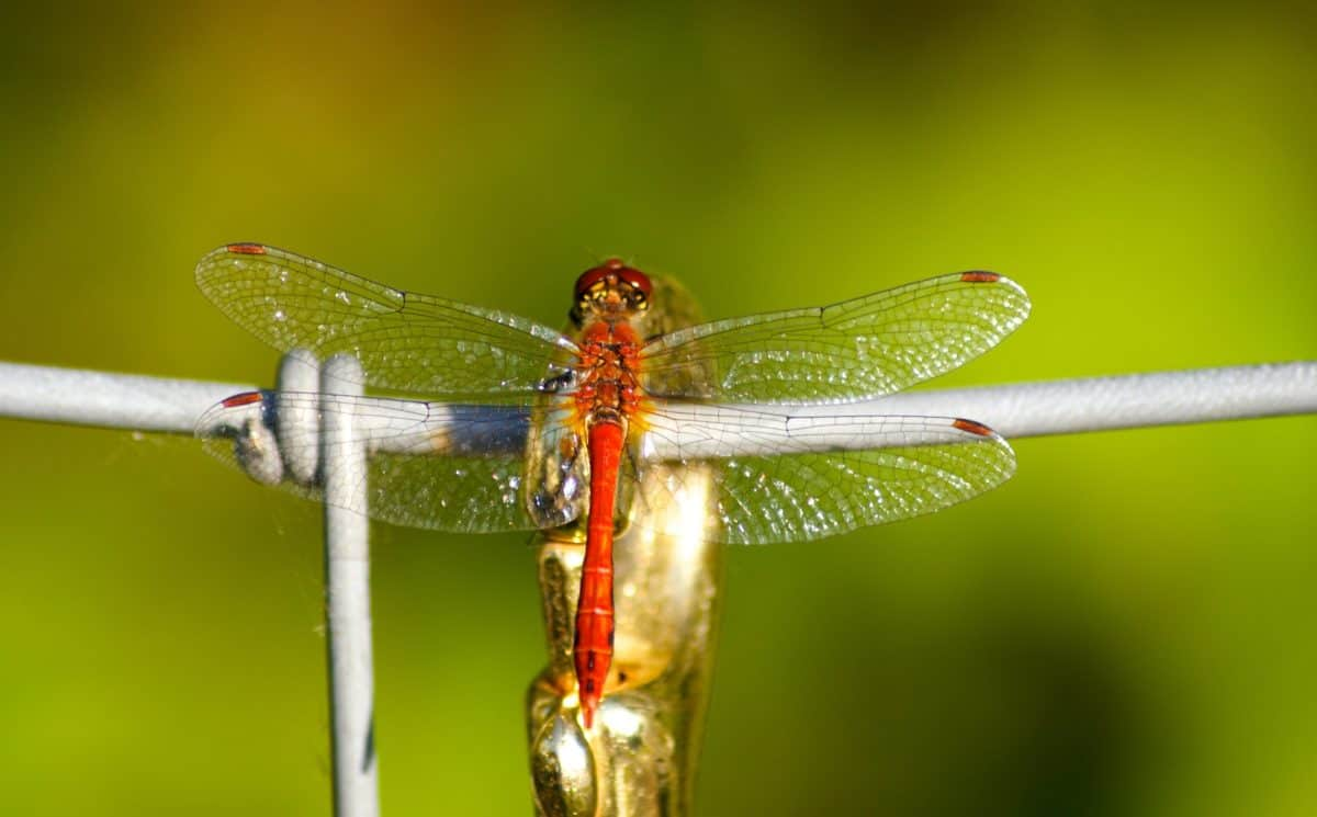 insect, barbed wire, dragonfly, nature, wildlife, arthropod, invertebrate