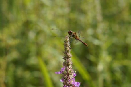 verano, insectos, naturaleza, libélula, artrópodos, flores, jardín