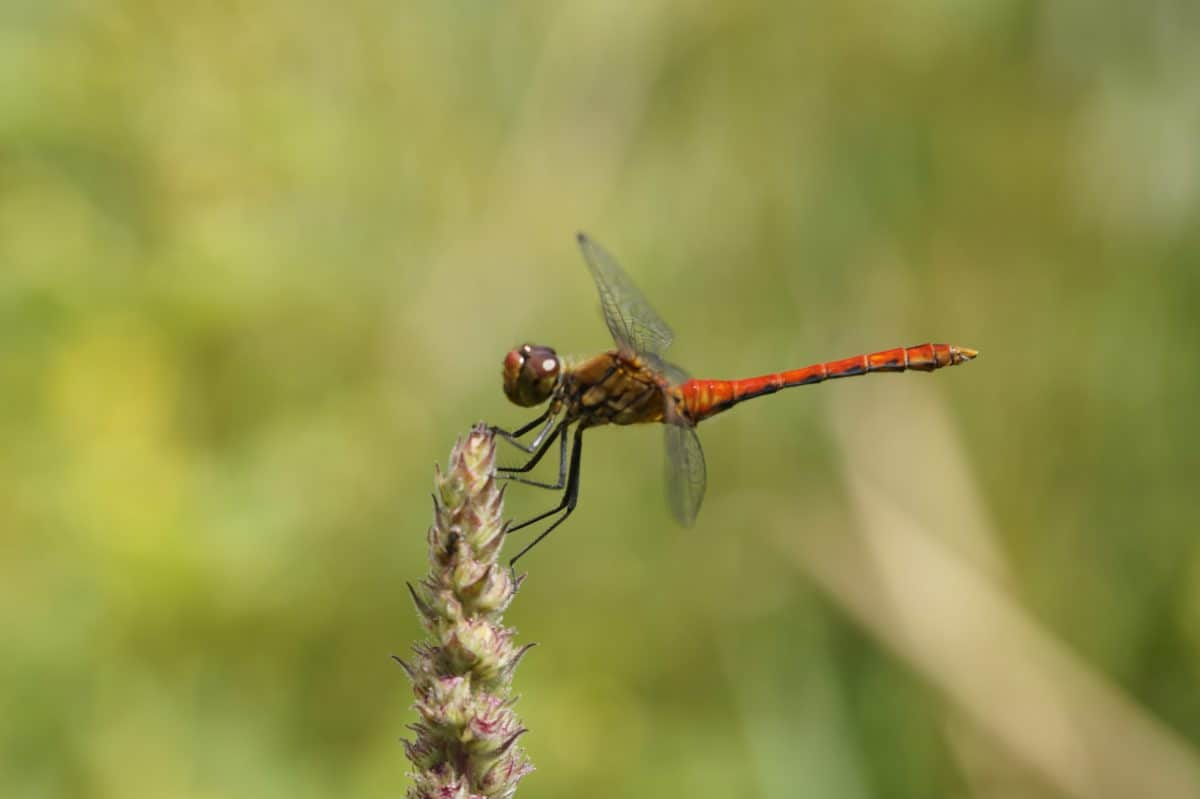 dragonfly, wildlife, animal, invertebrate, insect, nature