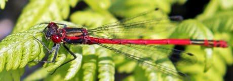 Garten, Libelle, Tierwelt, Natur, Makro, Tier, Insekten, Wirbellose