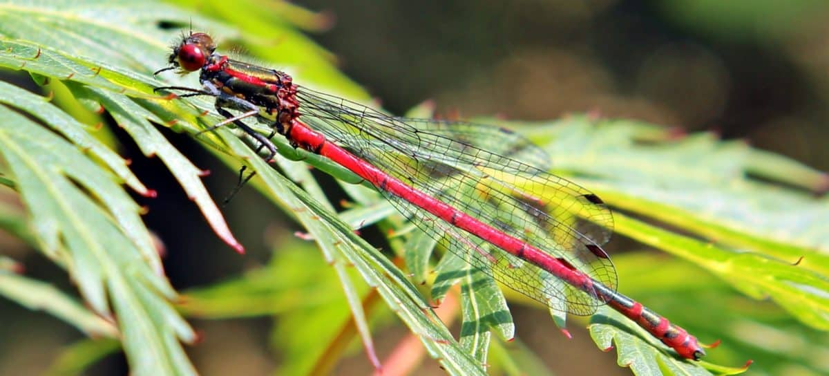 dragonfly, garden, macro, animal, wildlife, flora, insect, leaf, nature