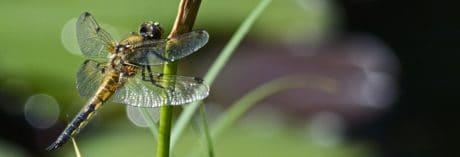 natur, insekt, dragonfly, leddyr, hvirvelløse dyr, græs