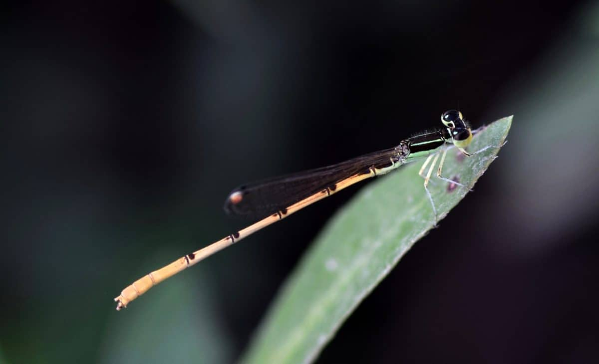 insect, invertebrate, dragonfly, leaf, arthropod, bug, animal