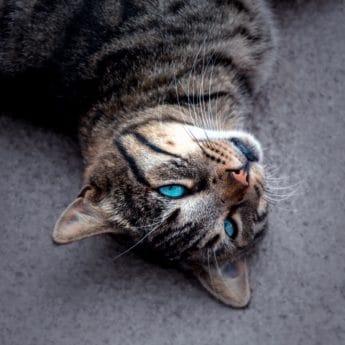 PET, portrét, kočka, kožešiny, zvíře, roztomilý, oko, kotě