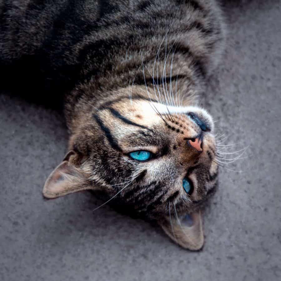 pet, portrait, cat, fur, animal, cute, eye, kitten