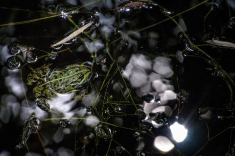 frog, dark, animal, swamp, water, reflection, zoology