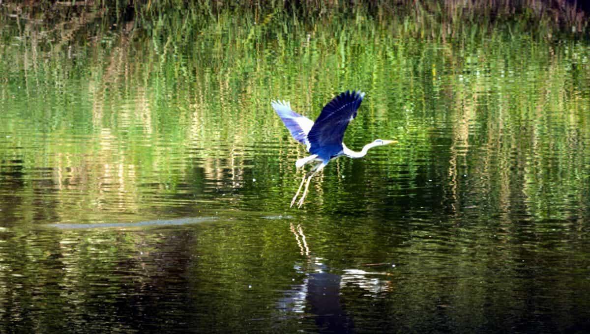 heron, lake, water, reflection, bird, wildlife, wild, marsh, nature