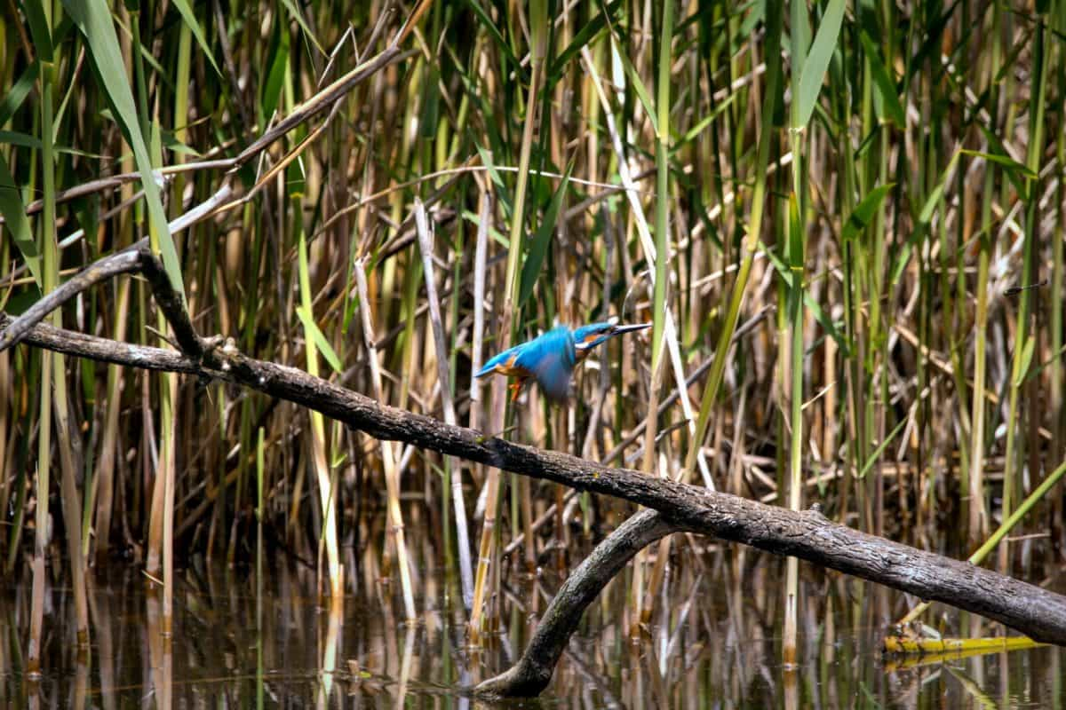 bird, animal, reed, water, wetlands, leaf, branch, nature