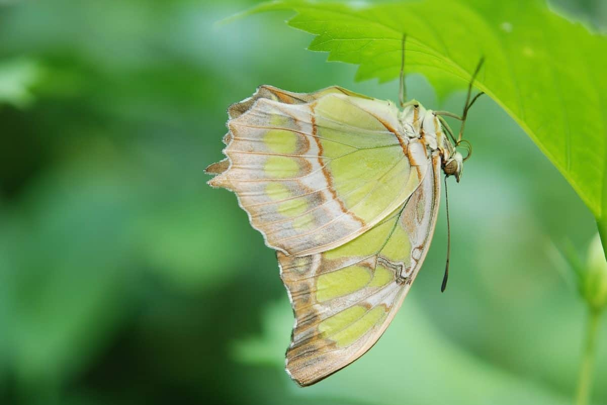 nature, wings, macro, leaf, insect, butterfly, plant, arthropod, garden