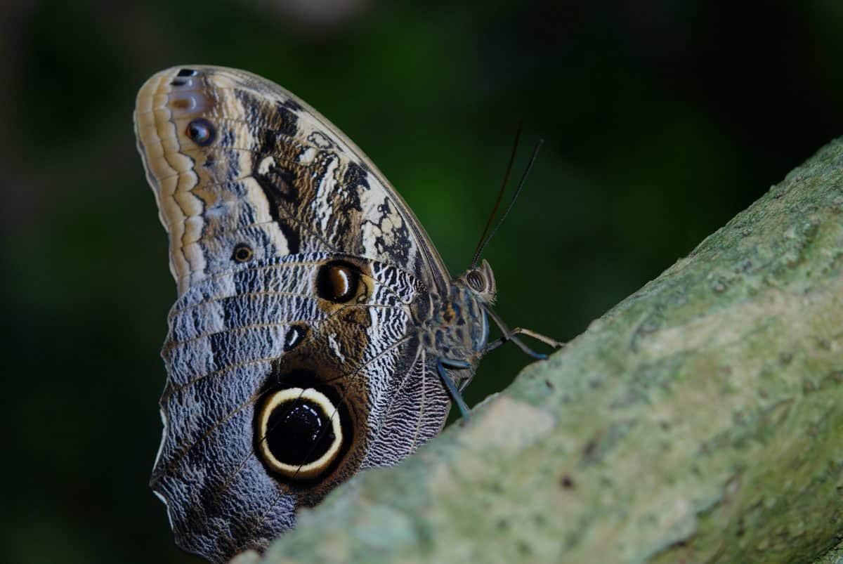 sommerfuglen, dyr, natur, insekt, dyreliv, makro, leddyr